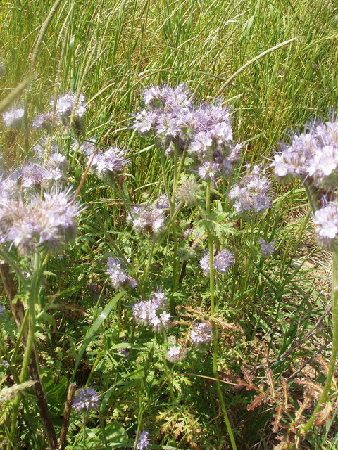 Phacelia plants, cover for game birds