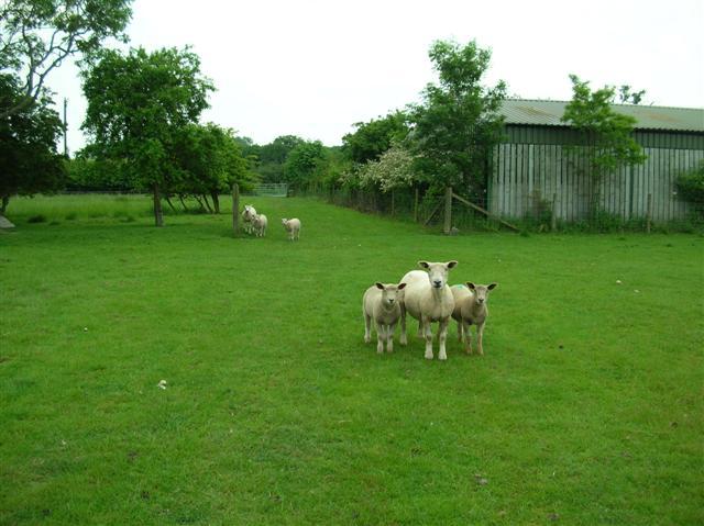 Sheep in Moor Monkton