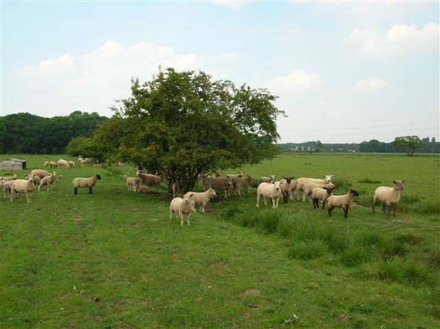 Moor Monkton Sheep