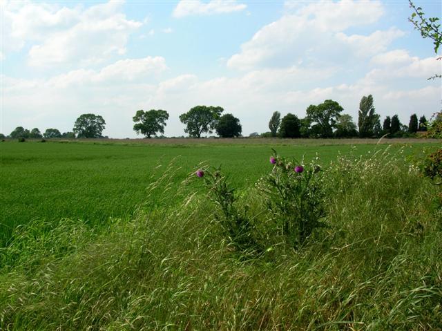 Thistles & field