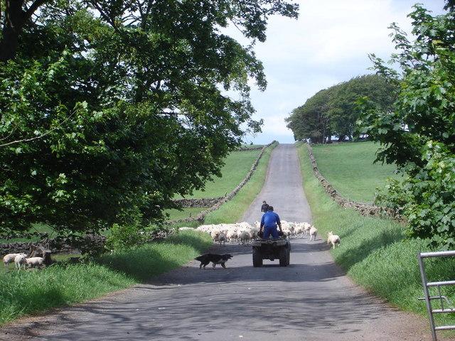Shepherding the modern way