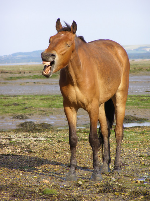 Pony on the shore, New Forest, Copyright Jim Champion and licensed for reuse under this Creative Commons Licence