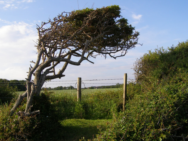 Windblown hawthorn on the shore, Tanners Lane, New Forest