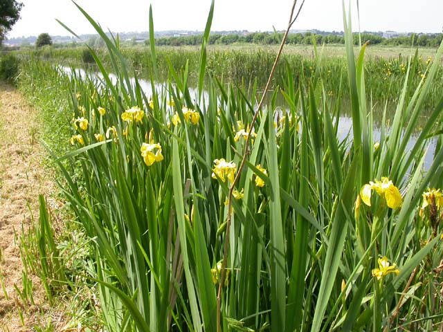 Yellow Flags on the Bank of the Grand Union Canal