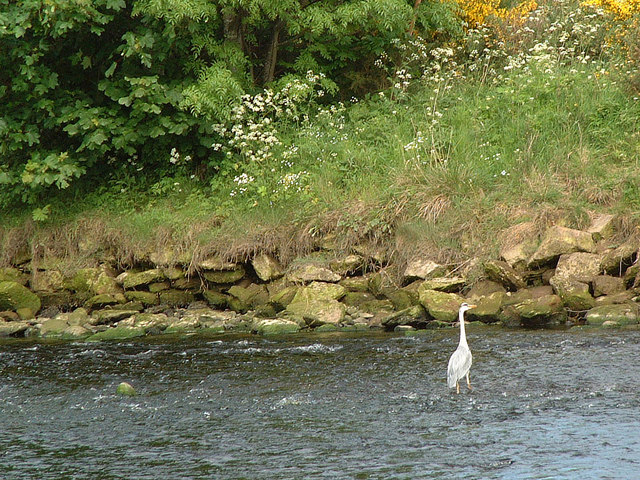 Heron on River Nairn