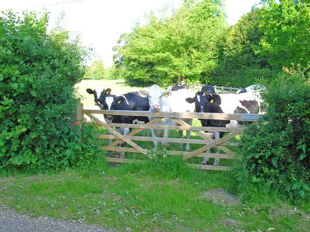 Inquisitive cattle at Rendham
