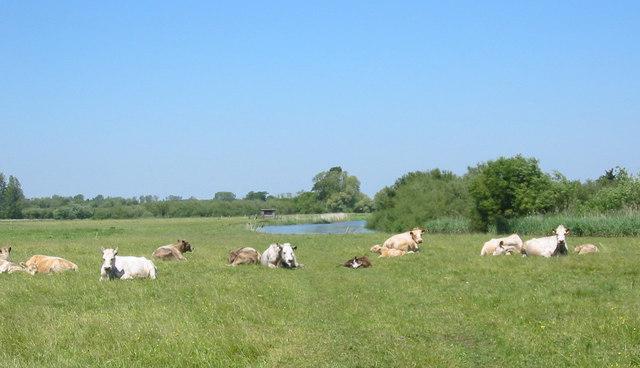 Cattle resting beside river Avon Dorset