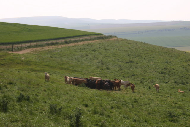 Cattle in morning heat on Morgans Hill