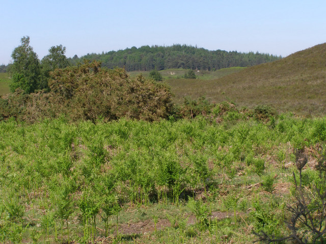 View across Ogden's Purlieu towards the Hasley Inclosure, New Forest