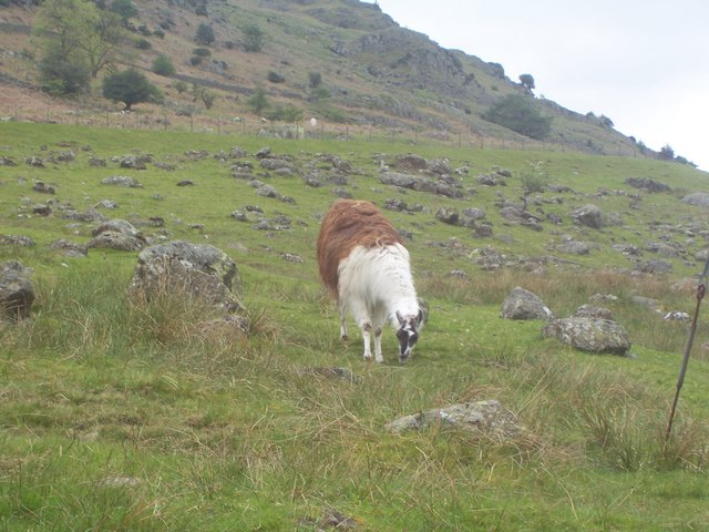 Lake District Llama