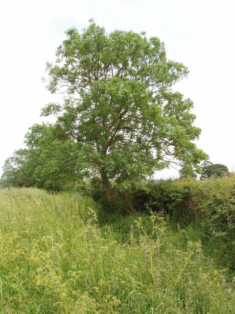 Roadside tree near Hornage Farm, Long Crendon