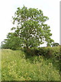 SP6710 : Roadside tree near Hornage Farm, Long Crendon by David Hawgood