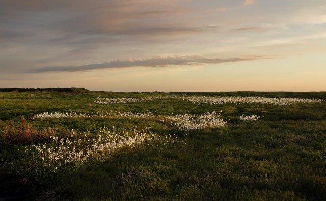 Cotton grass on Danby High Moor