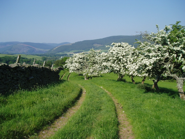 Hawthorn trees by the Southern Upland Way