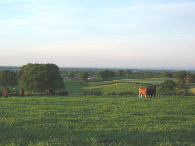 Cattle pasture on the South Cheshire Way