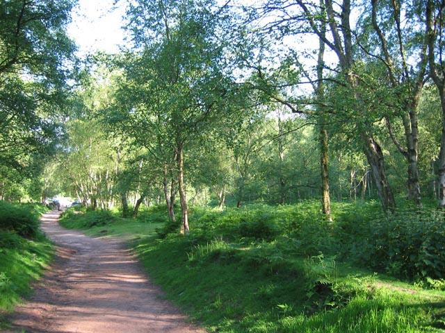 Birch woods on Bickerton Hill