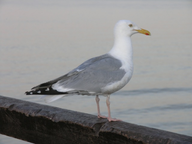 Herring Gull on Broadstairs Pier