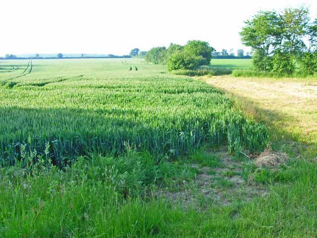 Cornfield near Little Waldingfield