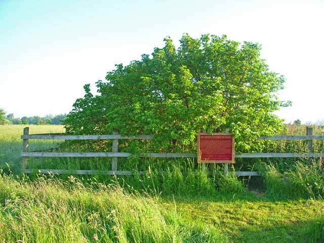 The Groton Winthrop Mulberry Tree