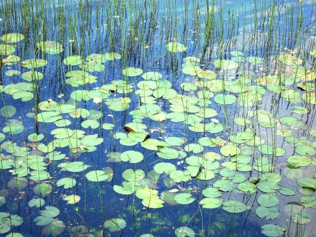 Water lilies on Llyn Tecwyn Isaf