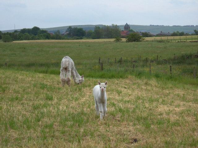 Llamas, Low Crompton