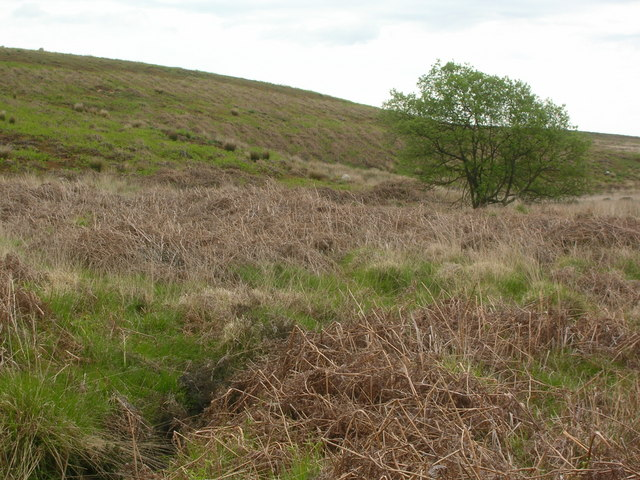 Bracken and a lone tree