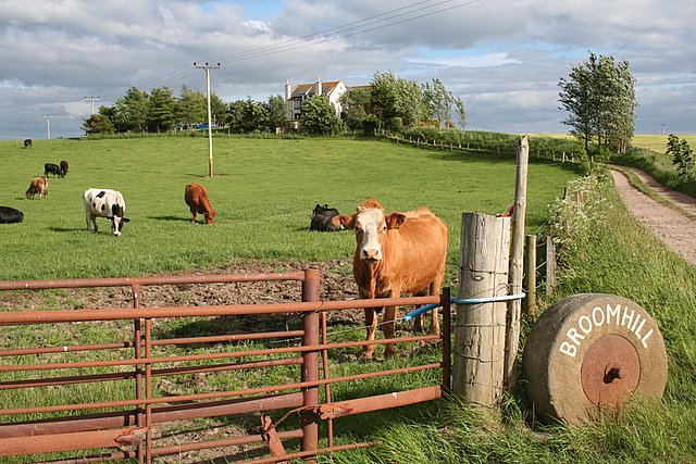 Cattle at Broomhill, Morayshire