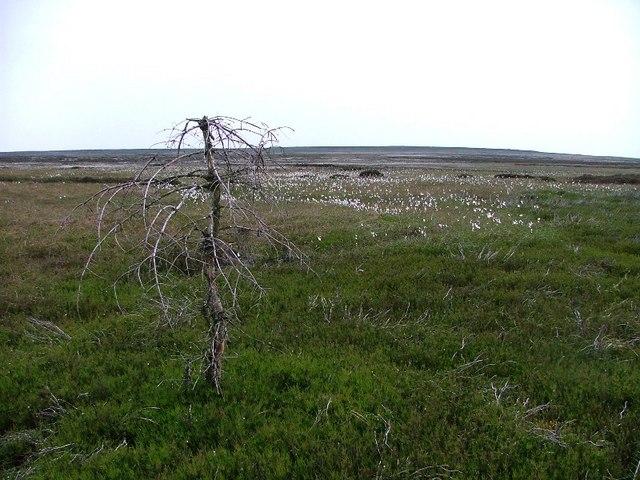 Dead Tree, Glaisdale Moor