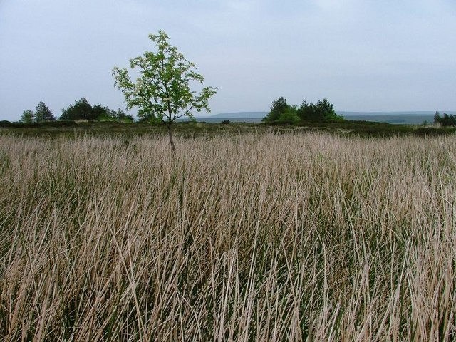 Rowan Tree, Glaisdale Moor