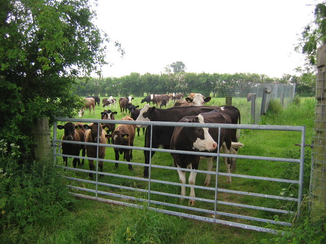 Aislaby Cattle