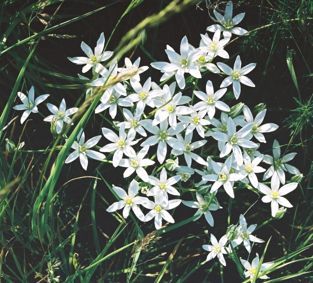 Star of Bethlehem (Ornithogalum umbellatum)