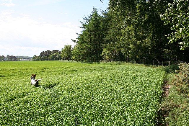 Navigating in a Pitgaveney barley field!!