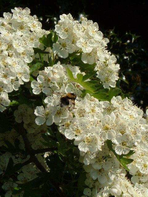 Bee on Hawthorn