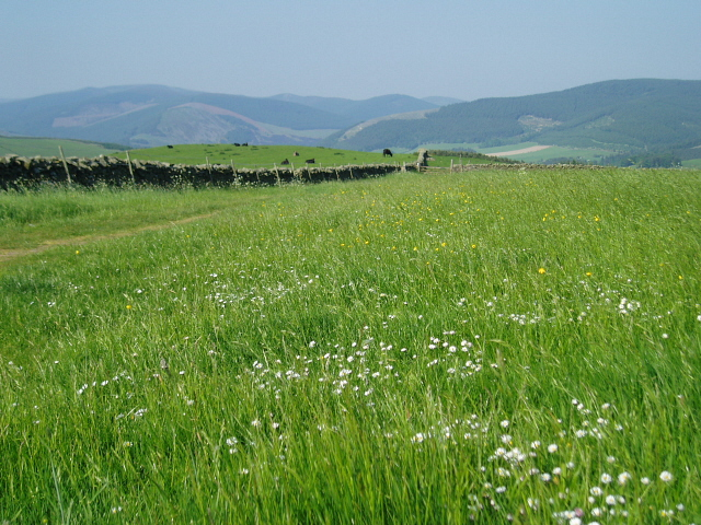 Buttercups, Daisies and Cows