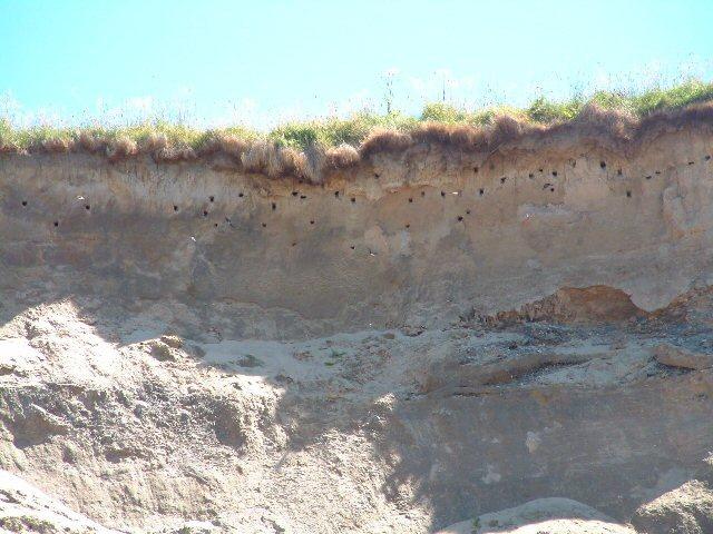 Sand martins' nests at Orrisdale Head