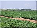 SW5933 : Potato fields near Townshend by Sheila Russell