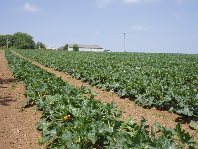 Fields of marrows at Mably