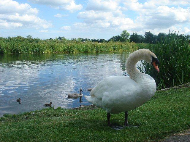 Swan at Nayland