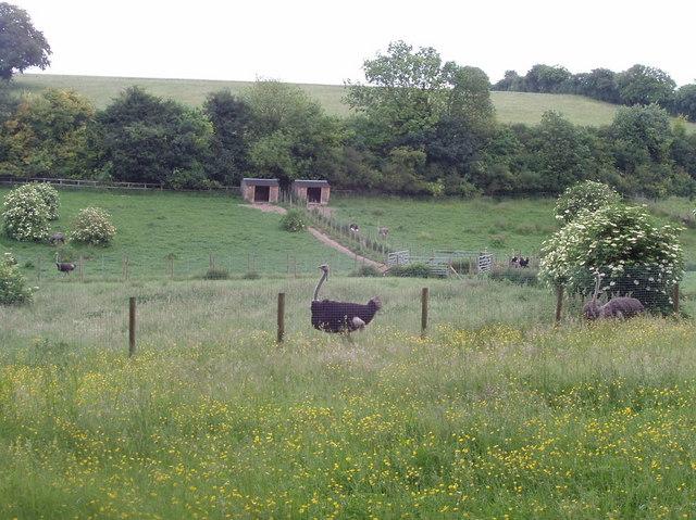 Ostrich farm, Chesham Vale