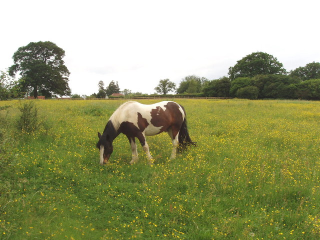 Pasture with buttercups and horse, near Chesham