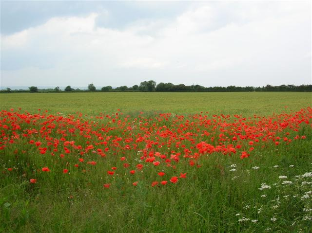Poppies - Junction to Flawith