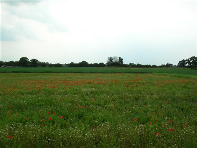 Poppies - Near Youlton