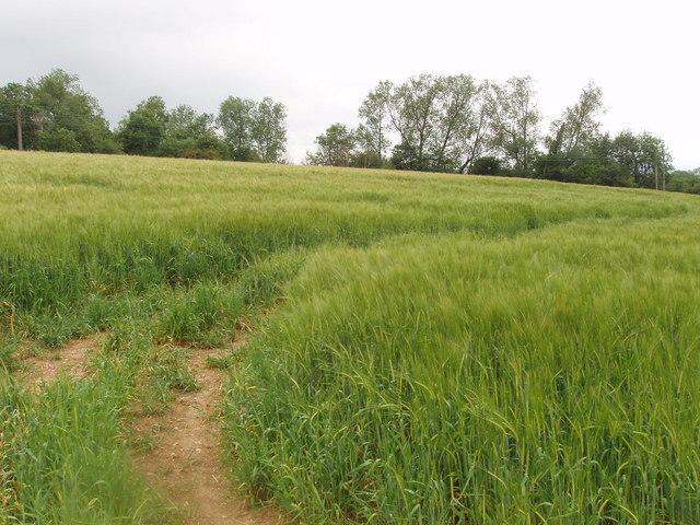Barley field near Ashley Green