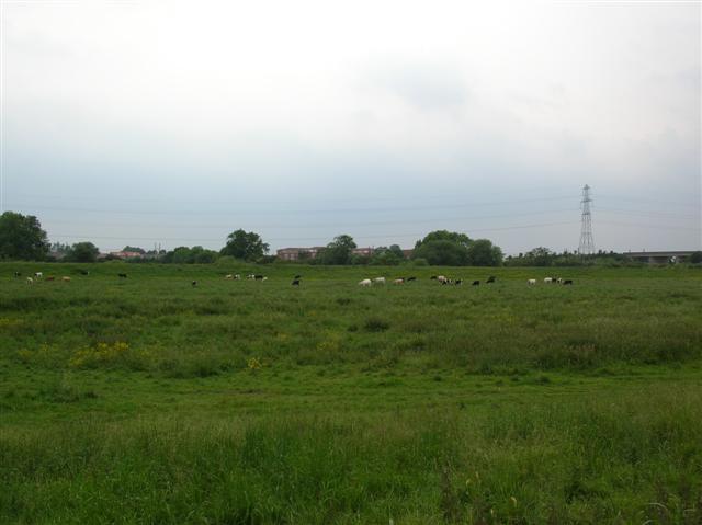 Cows - Rawcliffe Ings