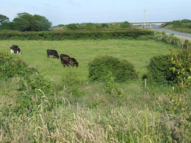 Grazing cattle near to the A55