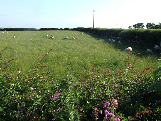 Sheep grazing in long grass