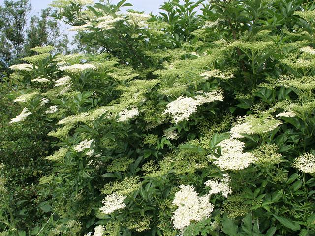 Elder in the hedgerow
