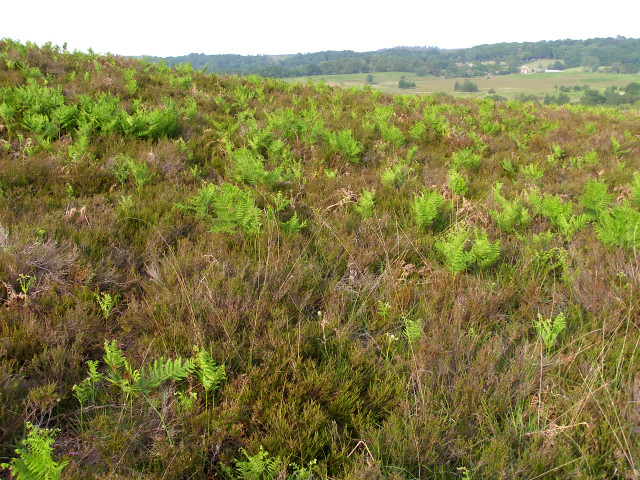 Southeastern slopes of Ibsley Common, New Forest