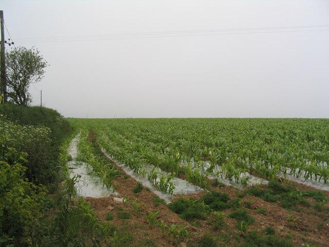 Field of maize started under polythene, near Boswinger