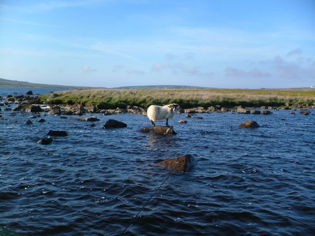 Ram on a rock - Loch Gorm Islay